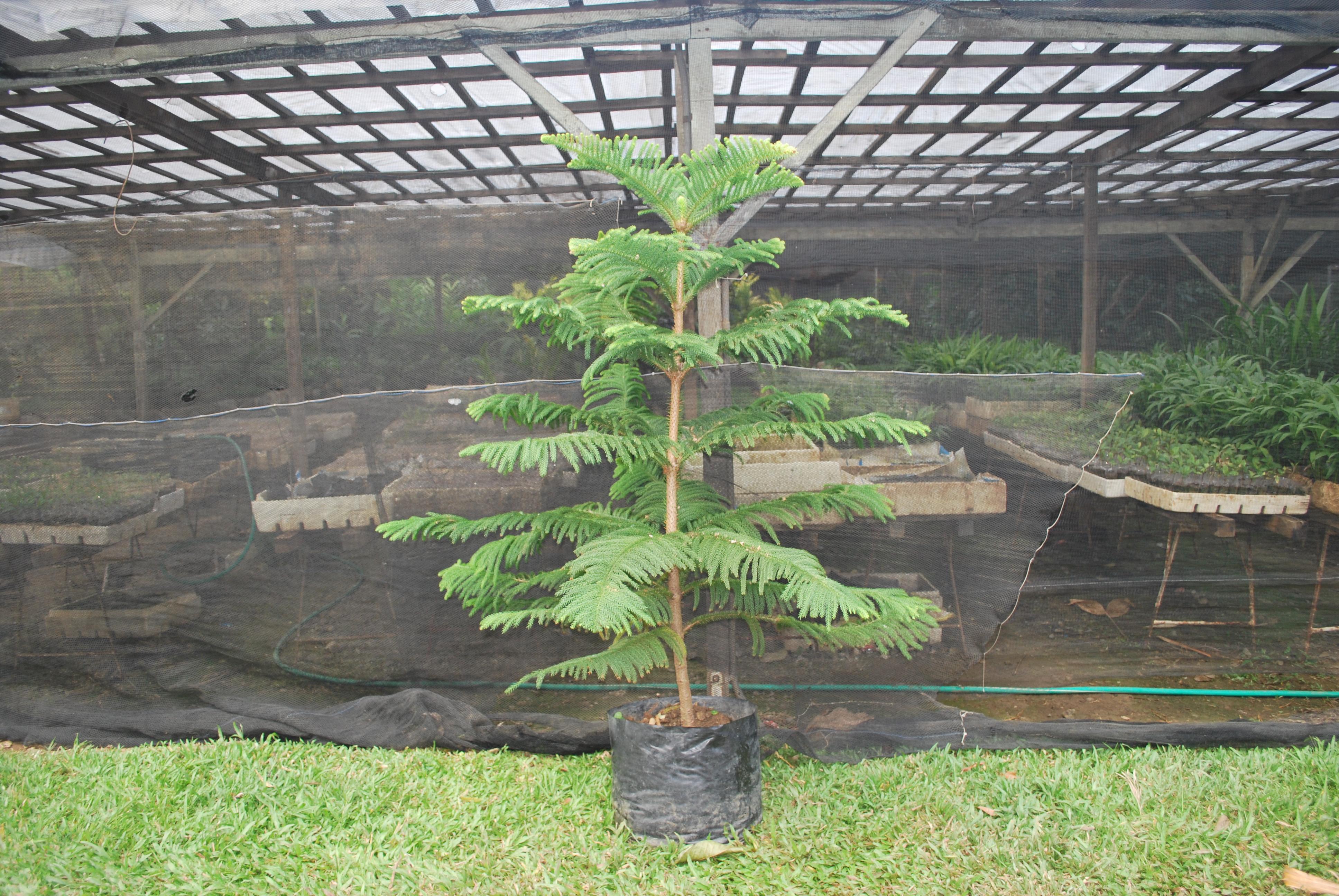 Araucaria Cainta Plant Nursery
