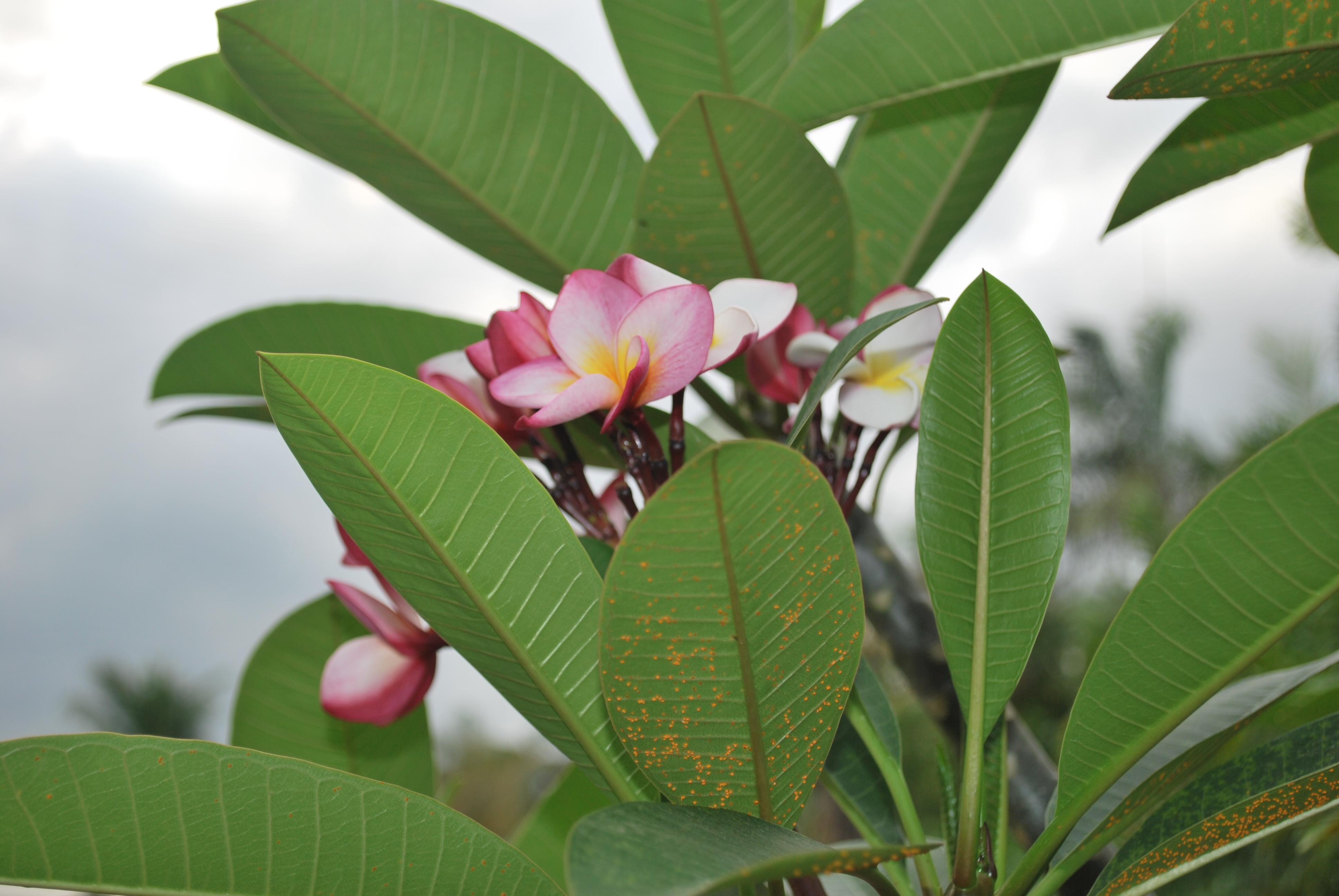 Calachuchi cainta plant nursery for Ornamental garden plants