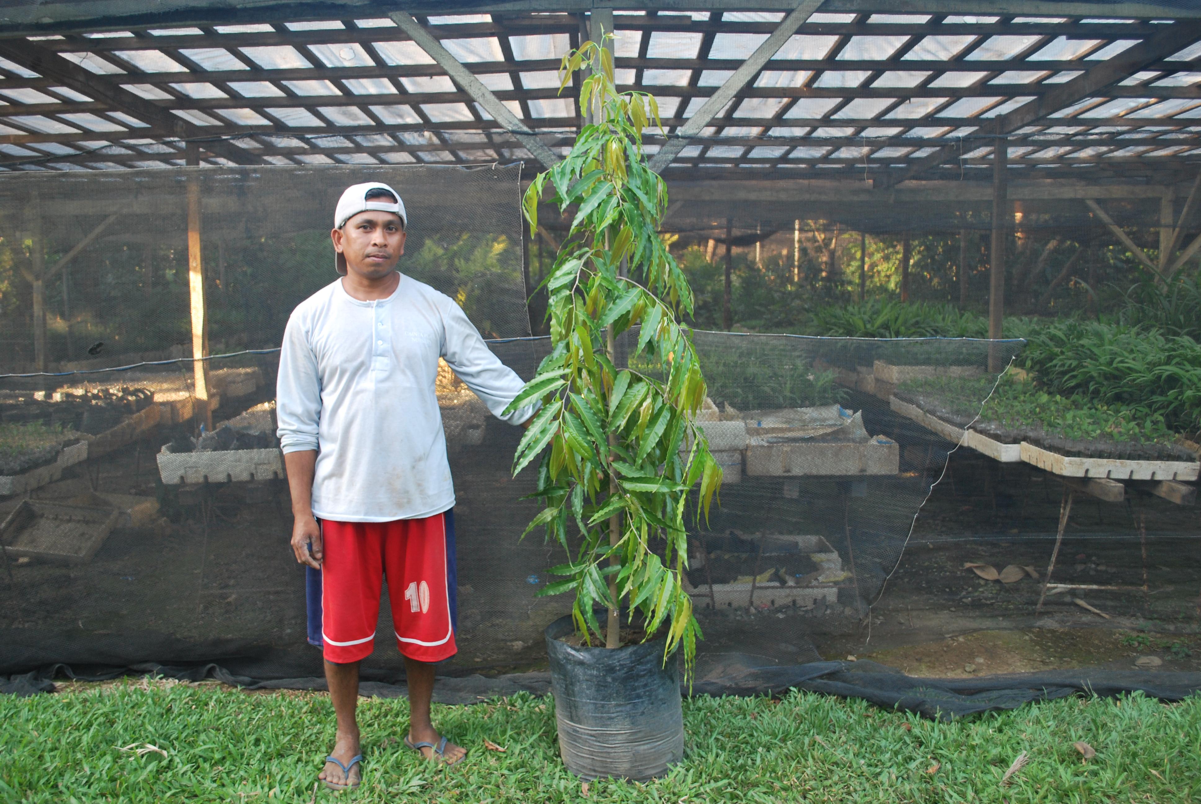 indian tree 2   cainta plant nursery