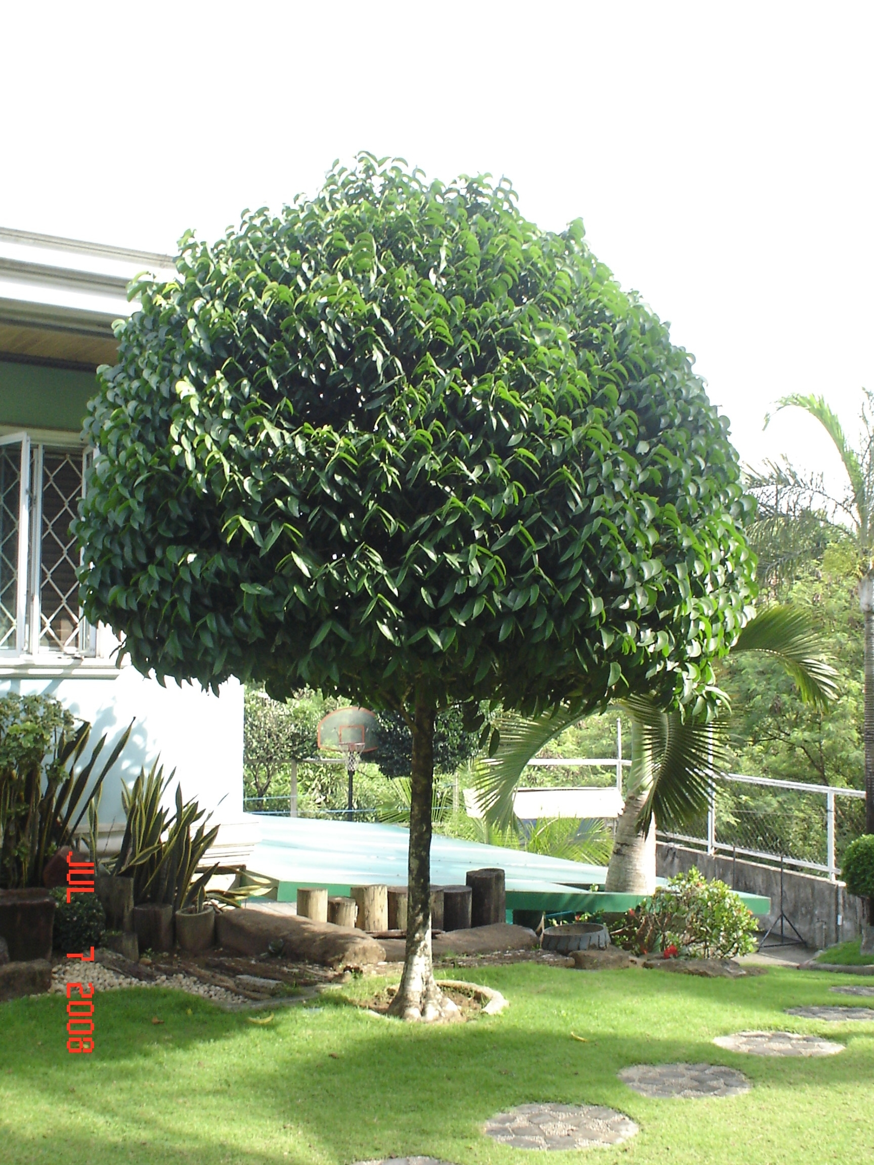 Cainta plant nursery for your tree planting projects for Landscape trees