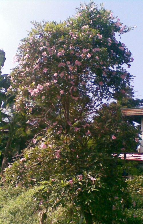 pink tabebuia