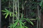 thailand bamboo 3