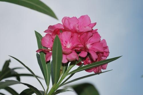 adelfa flowers 1