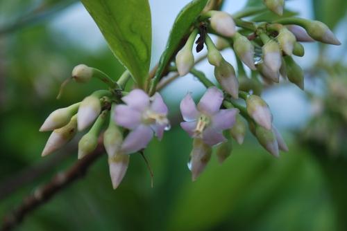 ardisia flowers 5