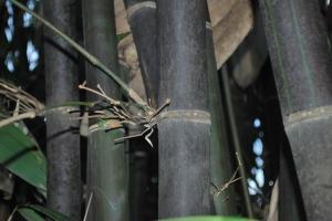 Bamboo | Cainta Plant Nursery