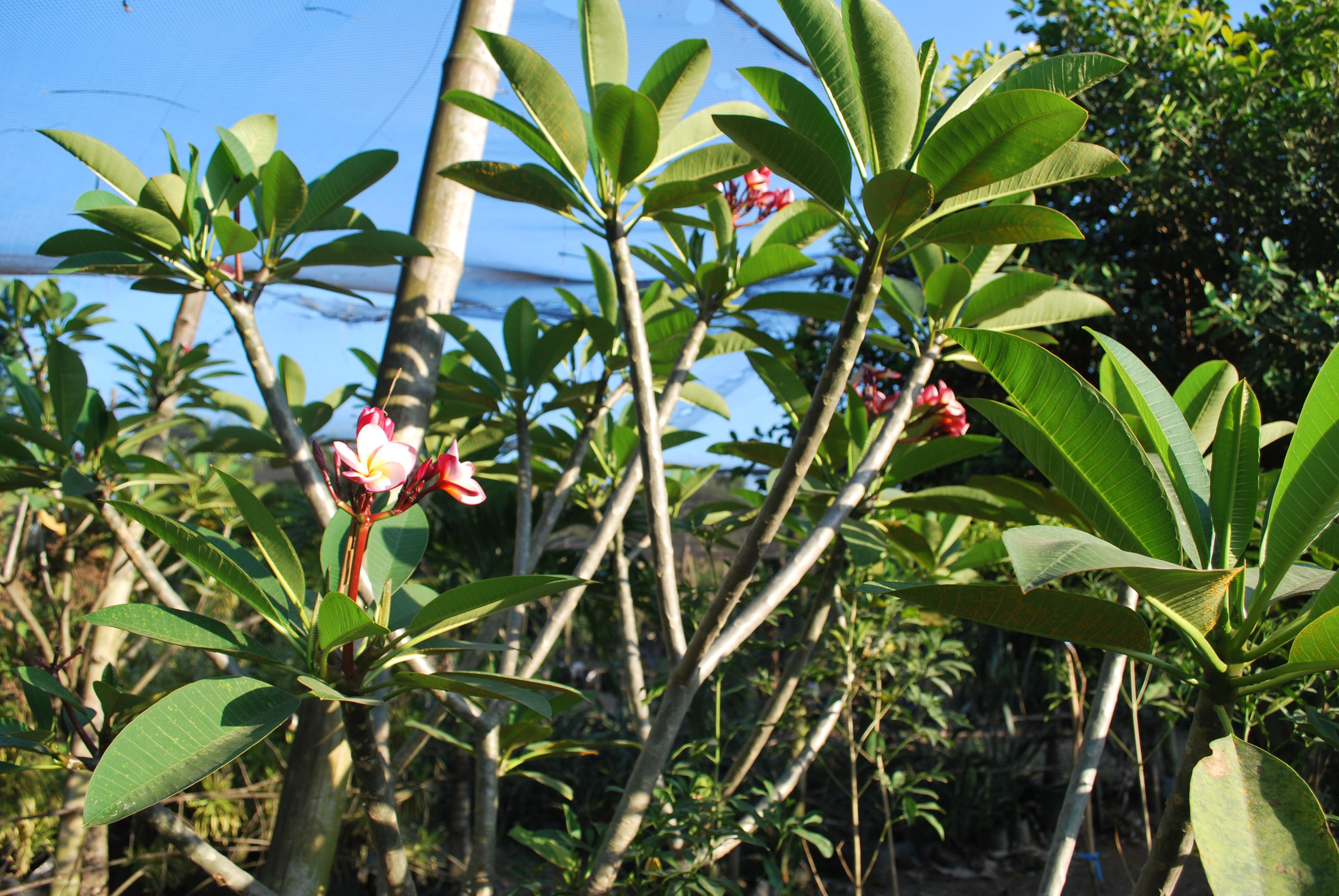 Calachuchi Cainta Plant Nursery
