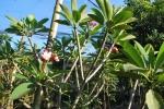 calachuchi flower 1