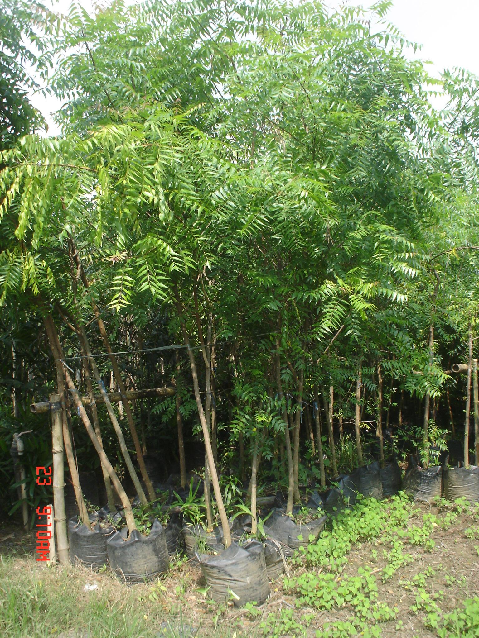Neem Tree 3 Cainta Plant Nursery