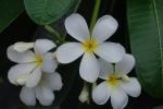 calachuchi flower 4