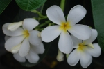 calachuchi flower 3