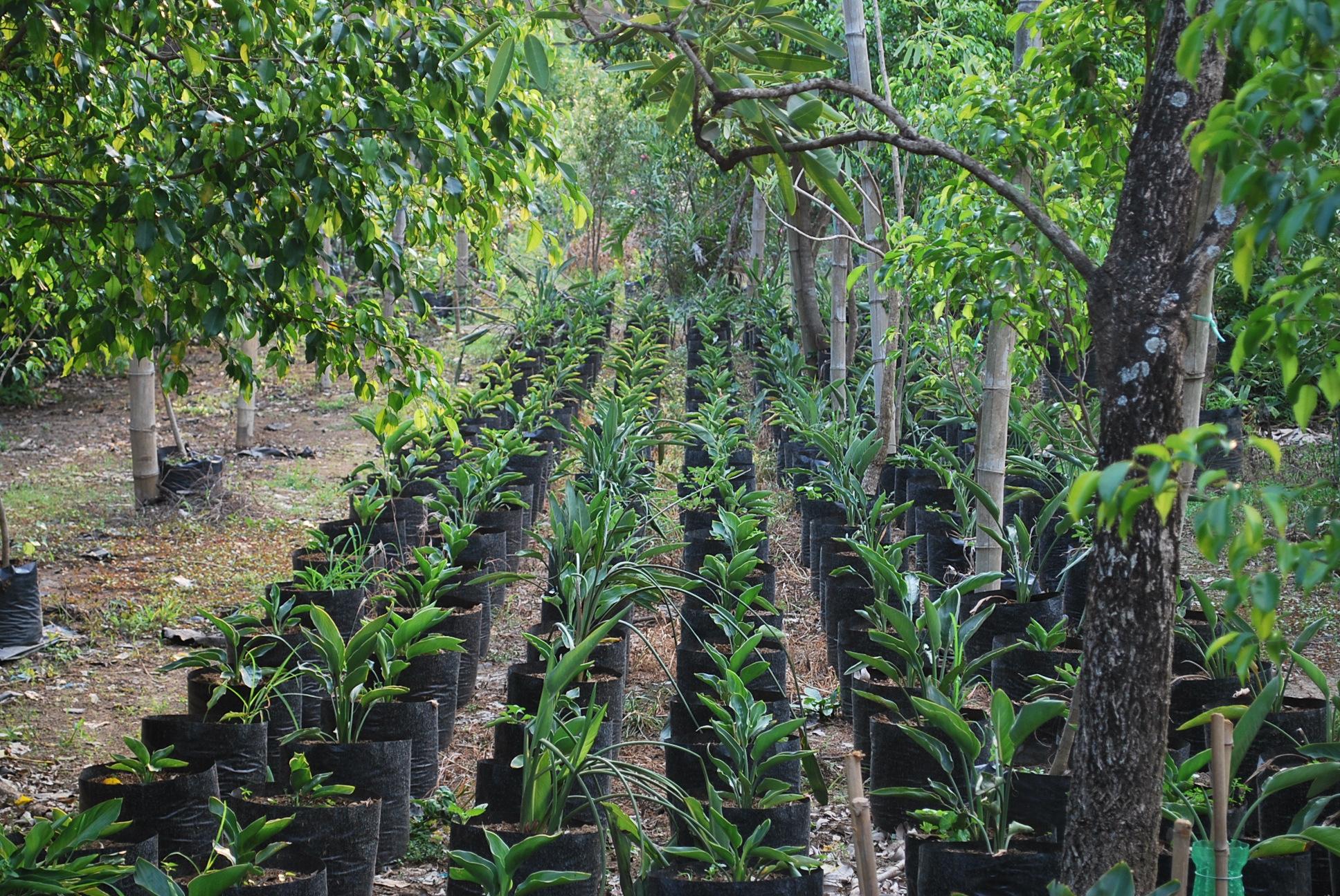 birds of paradise cainta plant nursery. Black Bedroom Furniture Sets. Home Design Ideas