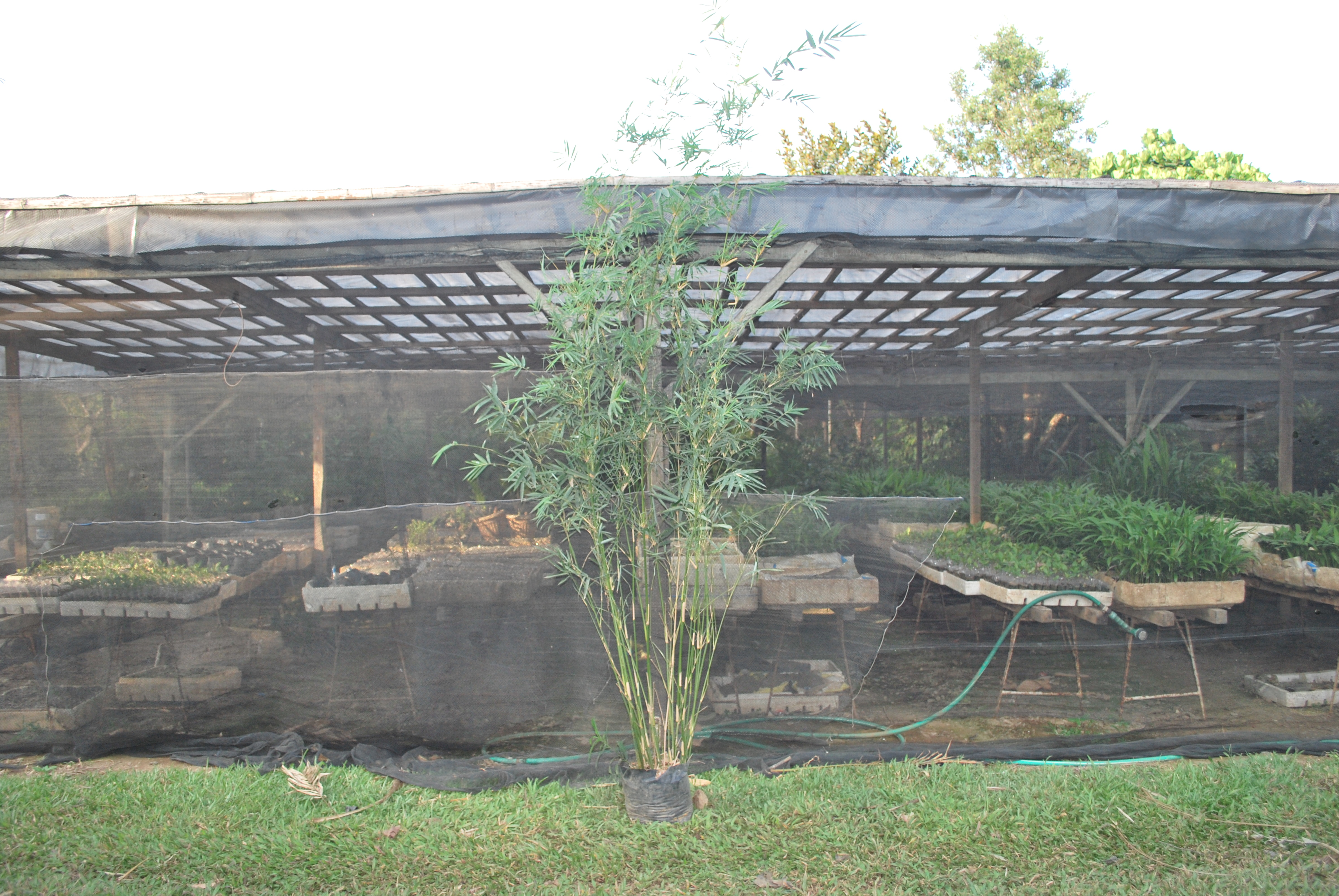 Mini Bamboo Plant : Mini bamboo cainta plant nursery