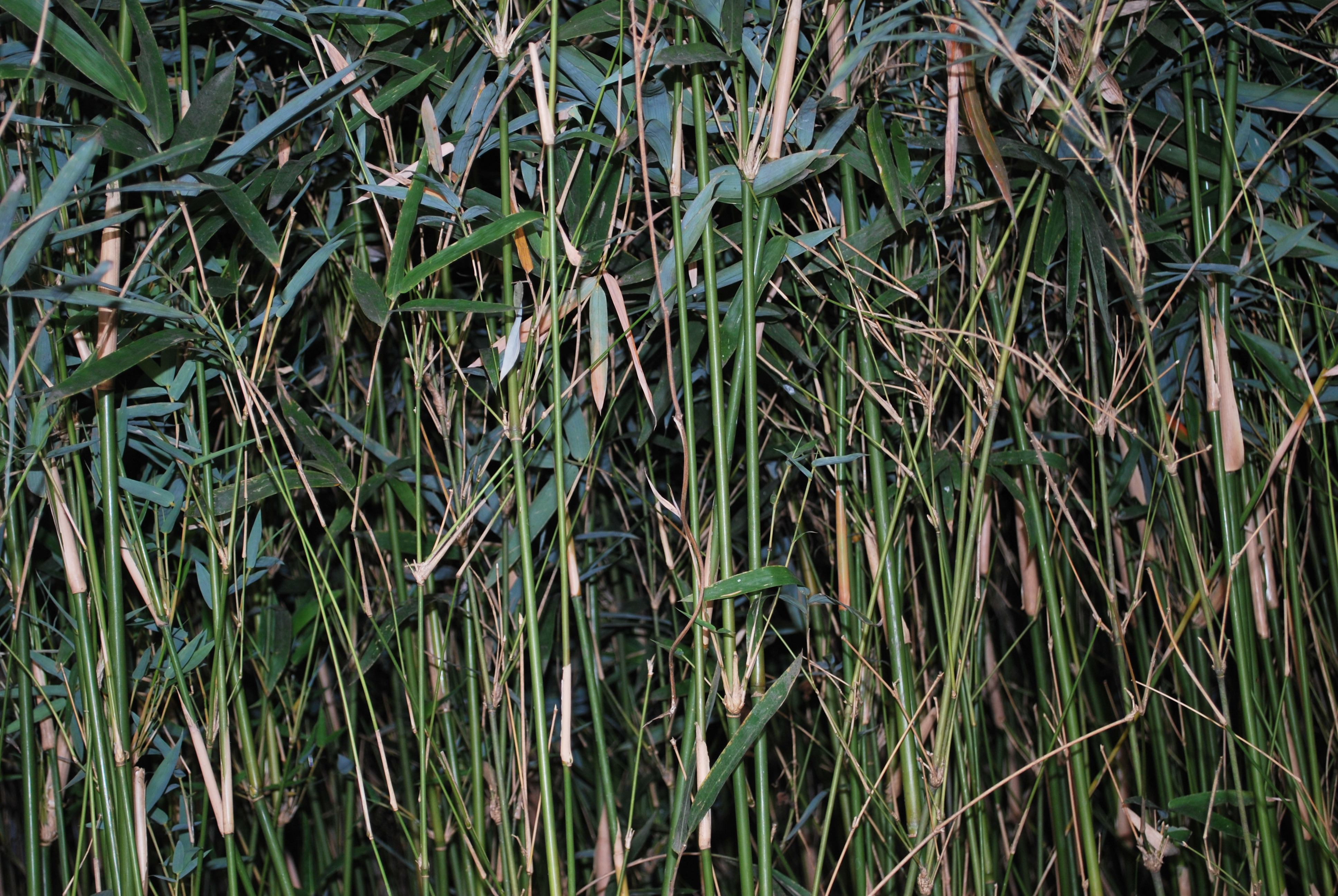 Mini Bamboo 4 Cainta Plant Nursery
