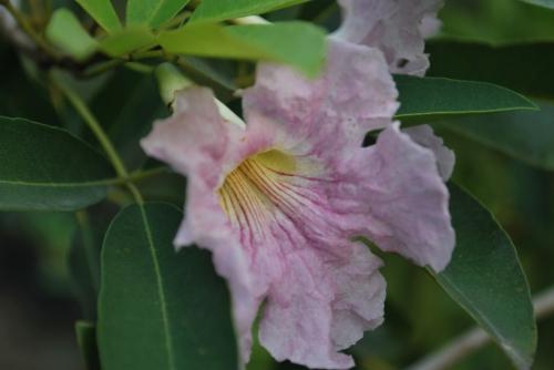 tabebuia flowers 4