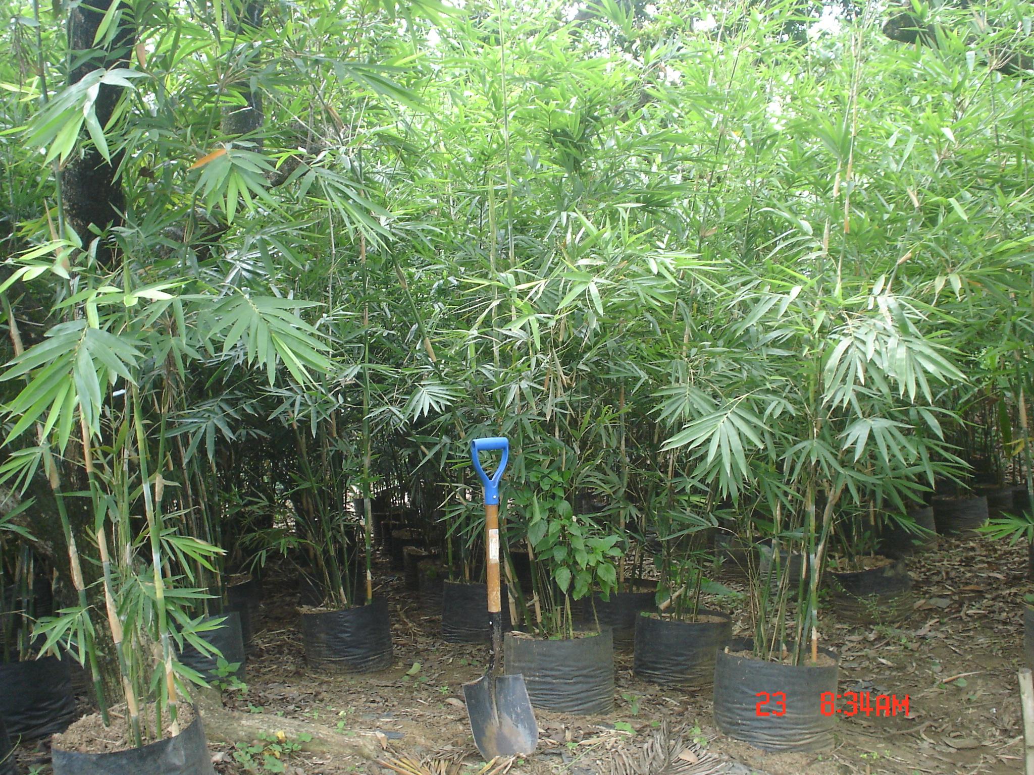 Thailand Bamboo | Cainta Plant Nursery
