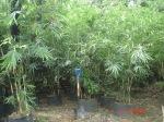 thailand bamboo 7