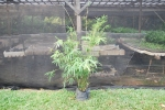 thailand bamboo 1