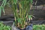 thailand bamboo 2