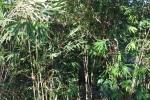 thailand bamboo 9