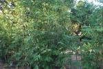 thailand bamboo 8