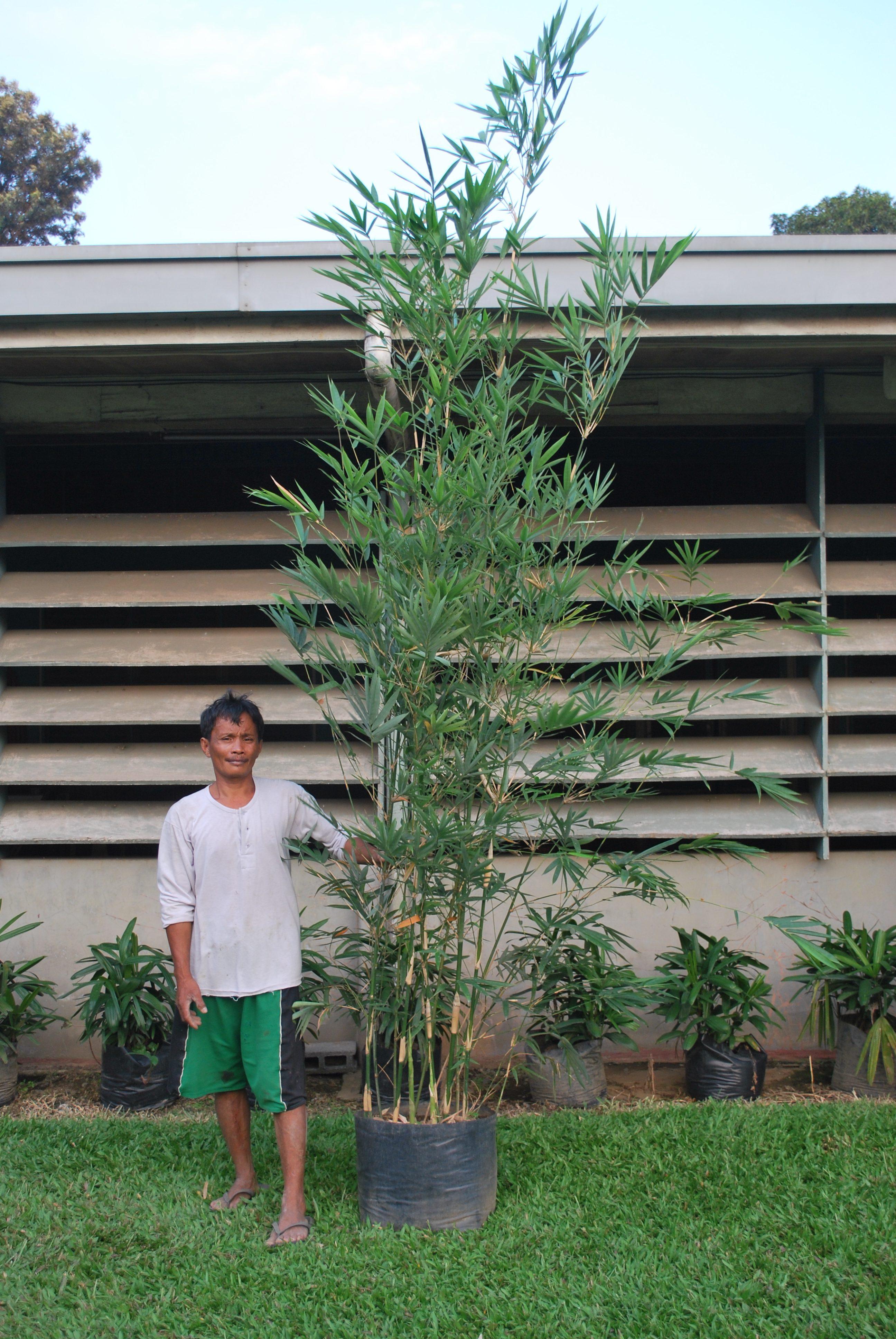 thailand bamboo cainta plant nursery