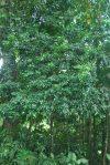 tamayuan tree