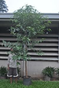 Guyong-guyong