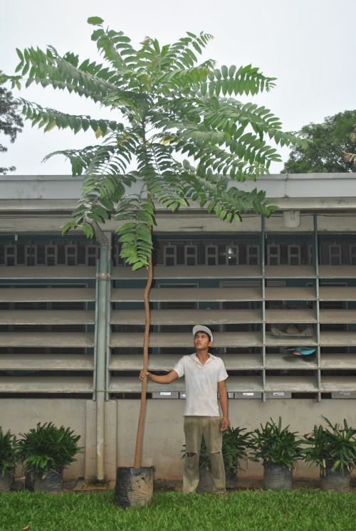 Kalantas 2 Cainta Plant Nursery